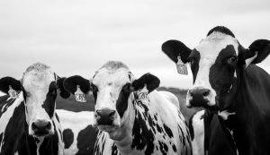 black and white dairy cows