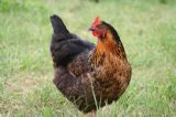 Cotswold chicken company